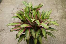 Common Tropical House Plants - tropical plants