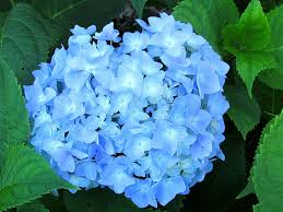 light blue flowers 7 light blue flowers to grow in your garden travis ward