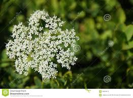 small white flowers white small flowers on green background stock photo image of