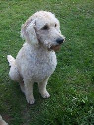 labradoodle hairstyles best 25 ideas about goldendoodle haircuts find what you ll love