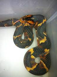 english pattern snake guides broad banded water snake common snakes identification guide for the