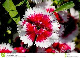 dianthus flower dianthus flower detail royalty free stock image image 4992586