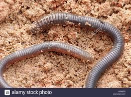 giant amazonian earthworm chibui bari oligochaeta annelida