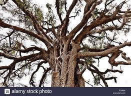 treetop of an argan tree argania spins in the biosphere
