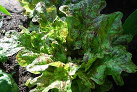 Types Of Community Gardens - flashy butter oak u0027 is a red splashed oak leaf lettuce that u0027s
