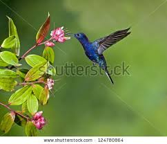 Hummingbird On A Flower - hummingbird flower stock images royalty free images u0026 vectors
