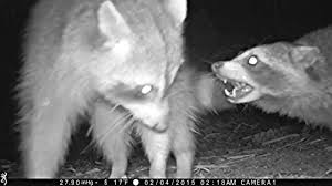 raccoon drama at the trail cam youtube