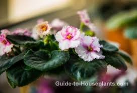 african violet plants saintpaulia pictures care tips
