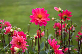 List Of Flowers by Free Stock Photo Of Flowers Nature Pink