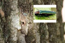 destructive beetle found on ash trees in st louis county st