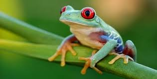 eyed tree frog agalychnis callidryas facts about animals