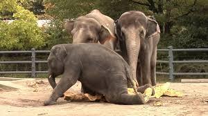 elephants squish giant pumpkins youtube