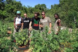 finest jamaican high grade jamaica u0027s weed form expedition full