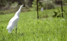laurel refuge helping to preserve whooping cranes laurel leader