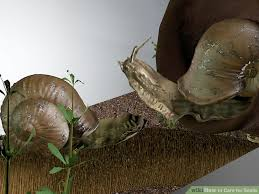 Where Can You Find Snails In Your Backyard 3 Ways To Care For Snails Wikihow