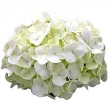 white hydrangea white hydrangeas archives sicamus productions
