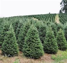 balsam fir christmas tree buy a real christmas tree online fraser fir for sale