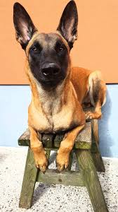 belgian shepherd for sale philippines belgian malinois