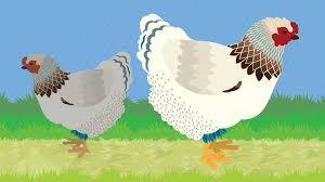 Backyard Chicken Blog by Raising Chickens At Home Fix Com