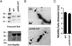comprehensive analysis of flagellin glycosylation in campylobacter