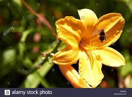 lily flower and humble bee nature garden outdoors park stock