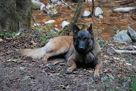 belgian shepherd hunting dogs sniff out the droppings of endangered primates