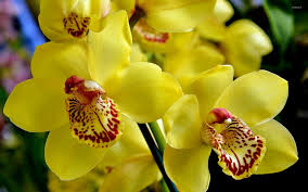 yellow orchids yellow orchids 3 wallpaper flower wallpapers 40868