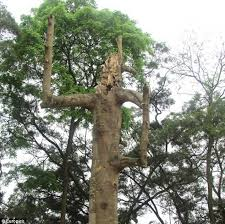 ancient tree left standing by superstitious foresters because it