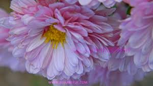 mums flower mums bella bleue photography