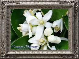 Most Fragrant Jasmine Plant - i like the flowers the most fragrant flowers