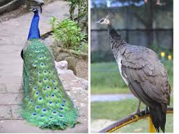 here u0027s how to tell the difference between a male and female peacock