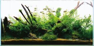 amano aquascape nature aquarium and aquascaping aquascaping wiki