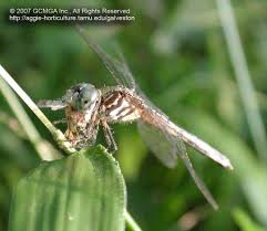 beneficial insects in the garden 11 dragonflies
