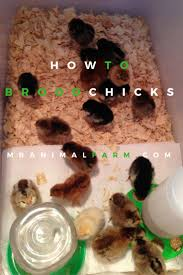 Keeping Free Range Chickens In Your Backyard by The 997 Best Images About Backyard Chicken Project On Pinterest