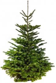 nordmann fir real tree size 120cm 150cm 4ft 5ft
