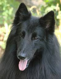 belgian shepherd national specialty 9 11 hero therapy dog will serve as canine ambassador at national