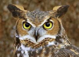 74 best owls images on pinterest owl art owl paintings and owl
