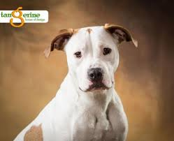 american pitbull terrier 1 a available dogs save a bull rescue