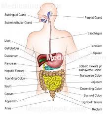 Male Internal Organs Anatomy 100 Human Internal Organ Anatomy Human Internal Organs