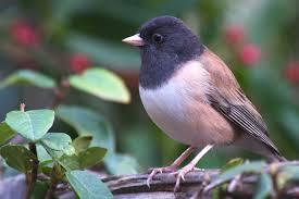 how to attract juncos to your yard