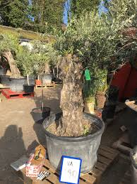 year olive tree for sale