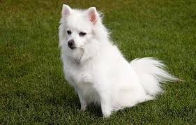 american eskimo dog apartment apartment friendly archives page 3 of 6 petspot