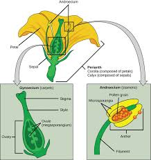 Life Cycle Of A Flowering Plant - angiosperms boundless biology