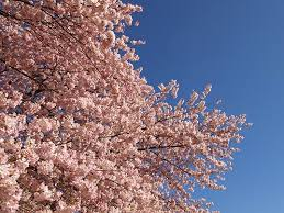 finding perennial meanings vancouver s cherry blossom trees