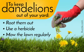 natural methods on how to get rid of dandelions in your lawn