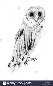 drawing of sitting barn owl tyto alba stock photo royalty free