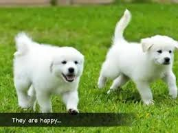 great pyrenees rescue provides wonderful dogs to good homes texas great pyrenees rescue tgpr the r puppies youtube