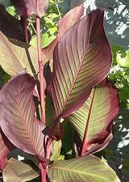 cana lilly canna plant