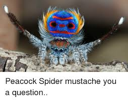 Spider Meme Misunderstood Spider Meme - peacock spider mustache you a question spider meme on me me