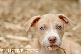 Pitbull Puppy Meme - pitbull puppy caught eating twigs rebekah nemethy art that